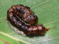 スカシカギバの幼虫