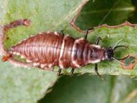 スズキクサカゲロウの幼虫