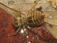 ショウジョウトンボの幼虫