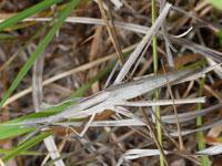 ショウリョウバッタの幼虫