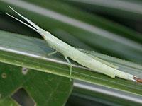 ショウリョウバッタモドキの幼虫