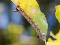 タカサゴツマキシャチホコの幼虫