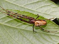 タニマノドヨウグモ
