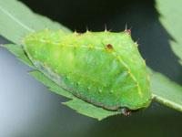 キマダラテングイラガの幼虫