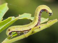 テングチョウの幼虫