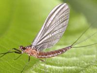 トビイロカゲロウ属の一種