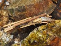 トビイロトビケラの幼虫