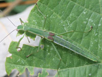 ニホントビナナフシの幼虫