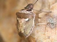 トゲシラホシカメムシ