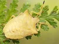 トホシカメムシの幼虫