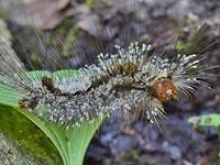 アカヒゲドクガの幼虫