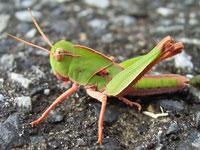 トノサマバッタの幼虫