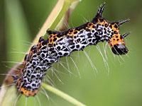 トラガの幼虫
