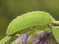 ツバメシジミの幼虫