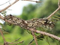 ツガカレハの幼虫