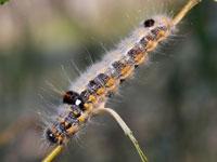 ツマアカシャチホコの幼虫