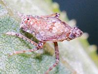 ツマグロスケバの幼虫