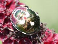ツマジロカメムシの幼虫