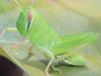 バッタ・イナゴの幼虫図鑑