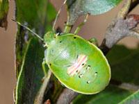ツヤアオカメムシの幼虫