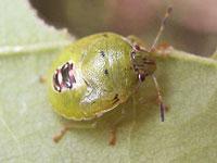 チャバネアオカメムシの幼虫
