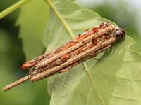 チャミノガの幼虫