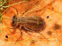 チョウトンボの幼虫