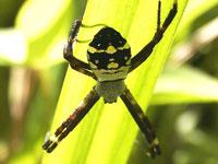 チュウガタコガネグモ