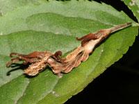 ウコンカギバの幼虫