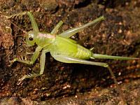 ウマオイ属の一種の幼虫