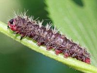 ウメスカシクロバの幼虫
