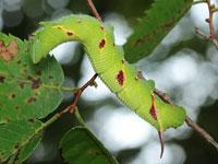 ウンモンスズメの幼虫