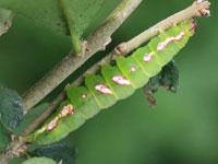 ウンモンツマキリアツバの幼虫