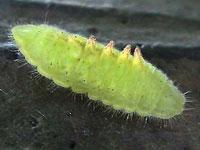 ウラナミアカシジミの幼虫