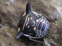 ウシカメムシの幼虫