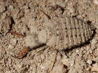 ウスバカゲロウの幼虫