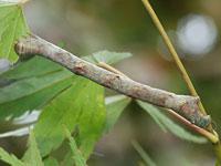 ウスバミスジエダシャクの幼虫