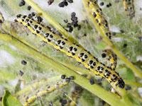 ウスベニオオノメイガの幼虫