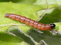ウスヅマスジキバガの幼虫