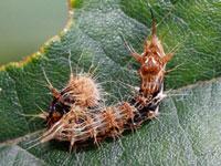 ウスギヌカギバの幼虫
