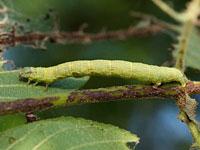 ウスグロナミエダシャクの幼虫