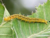 ウスイロクチブサガの幼虫