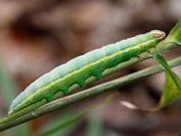 ウスキシャチホコの幼虫