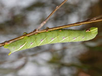 ウチスズメの幼虫