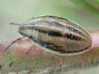 ウズラカメムシの幼虫