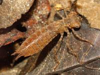 ヤブヤンマの幼虫
