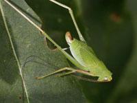 ヤマクダマキモドキの幼虫
