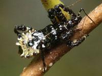 ヤニサシガメの幼虫