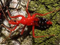 ヨコヅナサシガメの幼虫
