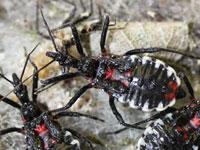 カメムシの幼虫図鑑 サシガメ科他